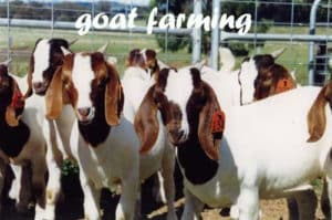 Starting a Goat Farming Business For Beginners | Agri Farming