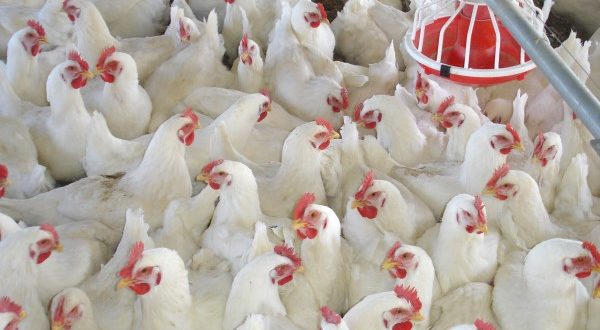 Poultry Farming Guide for Beginners