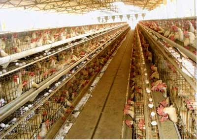 Poultry Layer Farming Project Report | Agri Farming