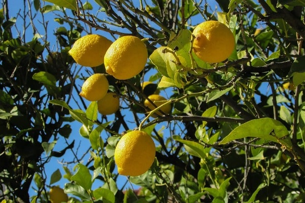 Water Requirement for Lemon Tree.