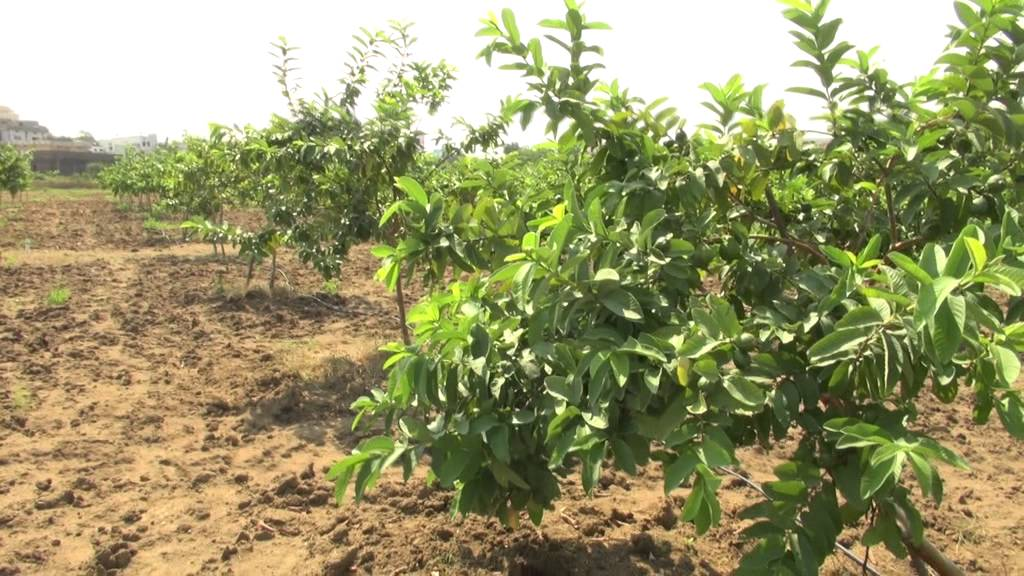 Guava Fruit Farming, Cultivation Information Guide | Agri