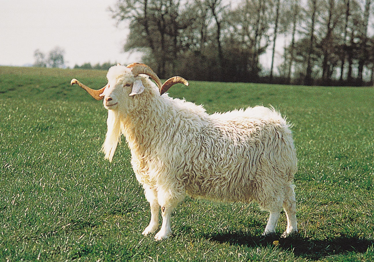 Meat Goat Farming Information Guide In India