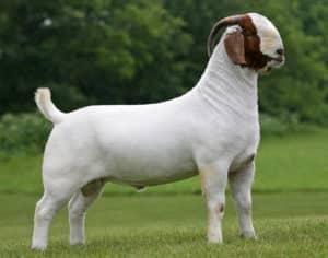 Meat Goat - Boer