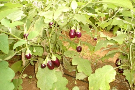 Brinjal Farming, Planting, Care, Harvesting - A Full Guide