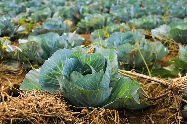 Cabbage Crop.