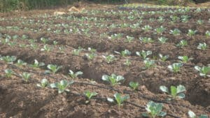 Cabbage Farming with Drip Irrigation