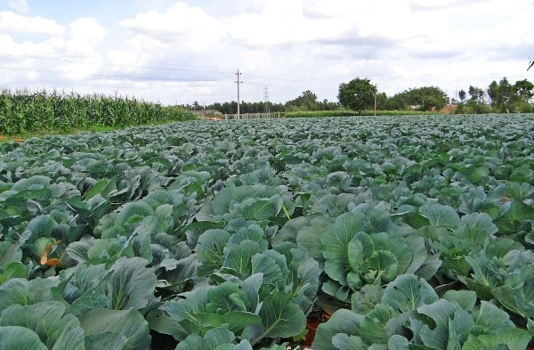 Cabbage Field.