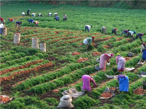 Carrot Farming Organic Techniques Tips And Ideas Agri Farming