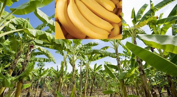 Banana Farming Information Guide For Beginners Agri Farming