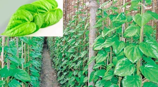 how to grow betel leaf from cuttings