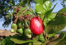 Growing Cashew Nuts.