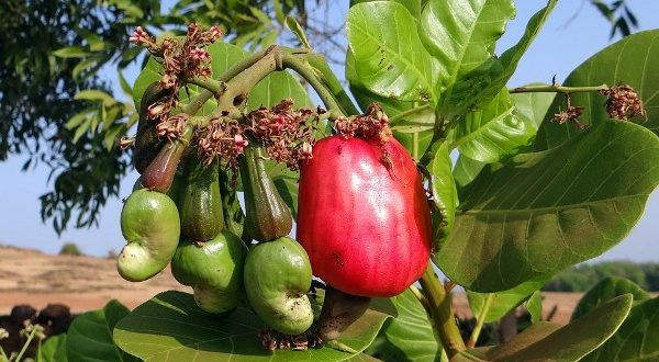 how to grow cashew tree from seed