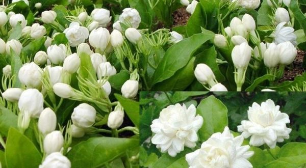 Jasmine Farming Information Detailed Guide Agrifarming