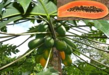 Growing Papaya.