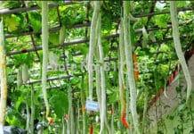 Growing Snake Gourd Vegetables.