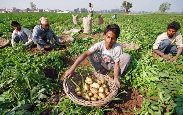 how to grow potatoes at home in india
