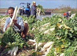 Harvesting Radish in the Farm