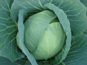 Hubrid Cabbage