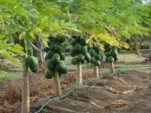 Irrigation in Papaya Farming