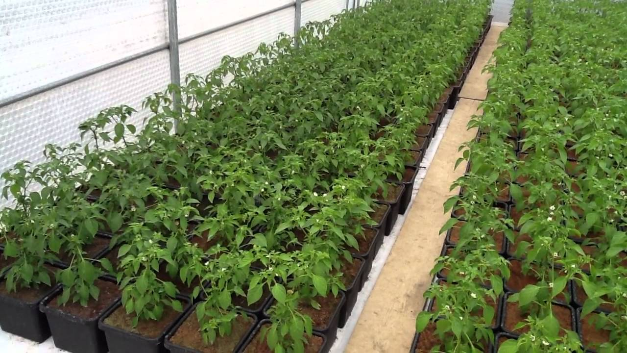 chilli plant cultivation