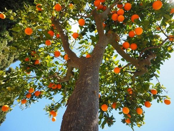 Orange Nutrient Requirement.