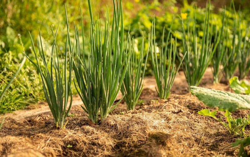 Onion Plants with Mulch.