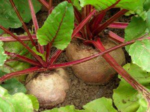 Organic Beetroot growin on beds