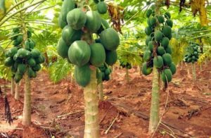 Papaya Farming