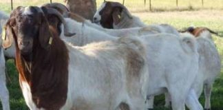 Goat Farming In Gujarat - Agri Farming