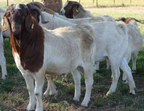 Meat Goat farming information Guide in India | Agri Farming