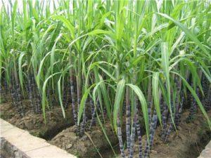 sugar cultivation in india