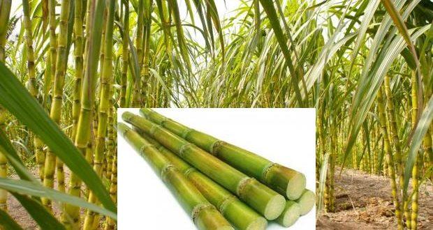 how long to grow sugar cane