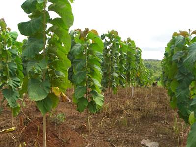 Teak Wood Farming Sagwan Planting Care Harvesting