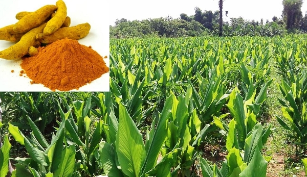 Agriculture And Environment-friendly Method Of Making Turmeric Powder Developed By Karanataka University