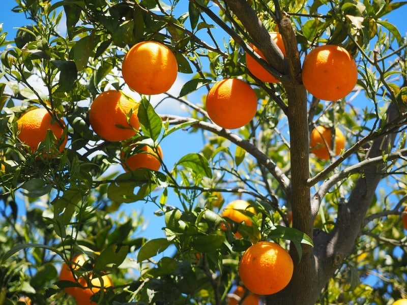 Climate Required for Oranges.