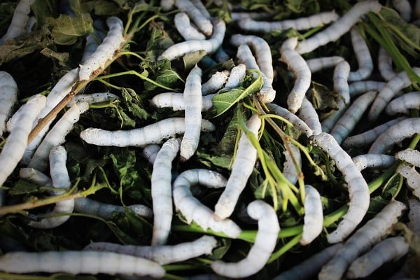 Silkworms on Mulberry.