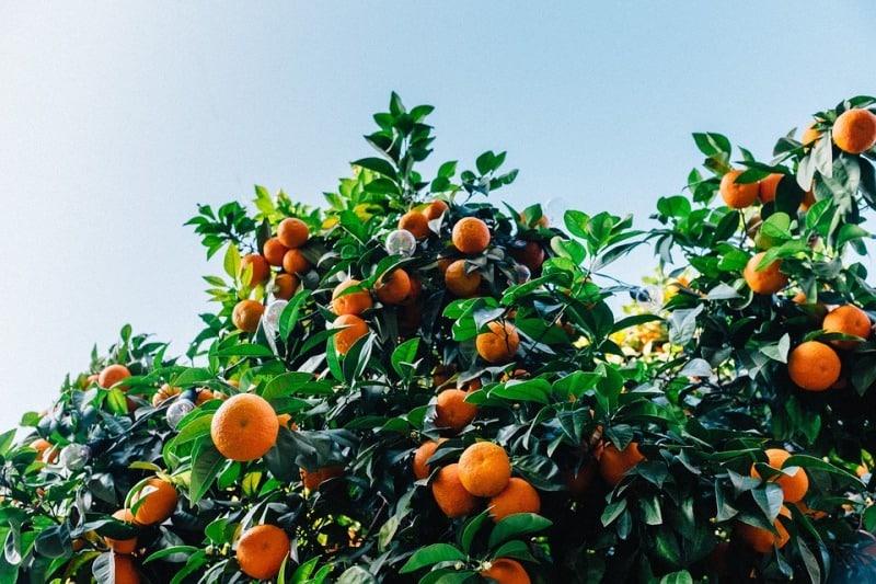 Irrigation Requirement of Oranges.