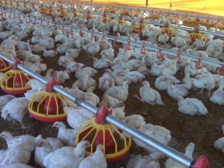 Broiler Farming (Poultry) Information Guide | Agri Farming