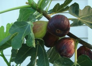 Fig/Anjeer Fruits