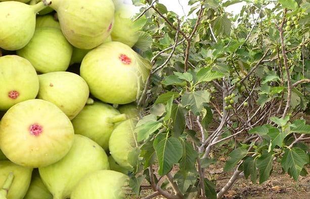 Fig Farming