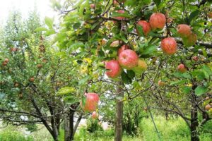 Himachal - apple orchard