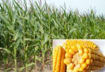 Maize (Corn) Production.