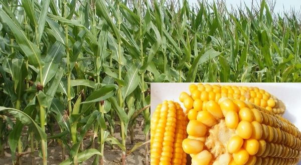 an introduction to the production of corn Strategic review of global corn starch industry & production, markets, products this executive summary is an introduction to this report and not compilation of.