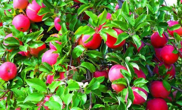Red apples - Plant