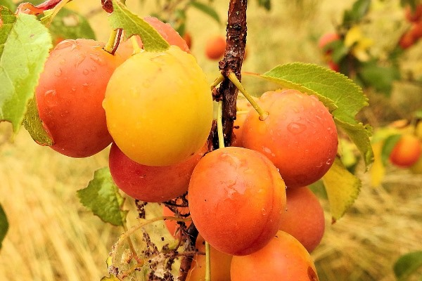 Plum Varieties (Commercial) Information in India | Agri Farming