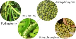 Mung Bean Stages