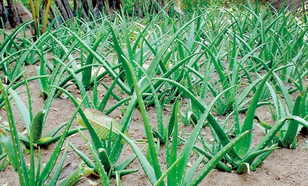 Aloe Vera Farming Information Guide For Beginners Agri Farming