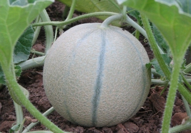 Cantaloupe Farming Musk Melon Kharbooj Agri Farming Unlock the secrets of this musky fruit and learn how to leave the store with a ripe, sweet bounty. cantaloupe farming musk melon kharbooj