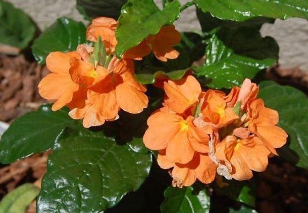 Crossandra Flower Farming