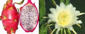 Dragon Fruit and Flower